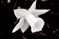 """""""My capture of a white jonquil...."""" (by Flo Budny)"""