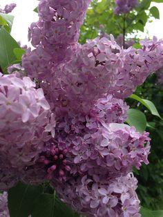 season, tree, lilacsmi favourit, springtim, early spring, springi thing, flower