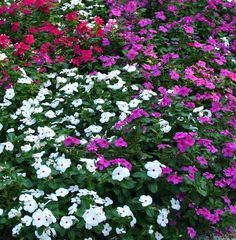 vincas. The best drought tolerant flower I have found! You will appreciate them during the hot Texas summer!