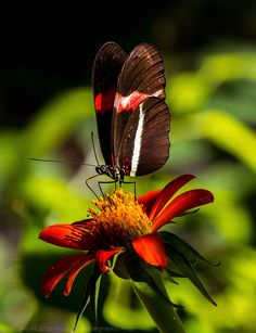 Crimson-patched Longwing Butterfly