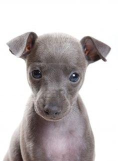 puppies, greyhounds, pet, italian greyhound, tini greyhound, greyhound puppi, baby greyhound, dog, babi greyhound