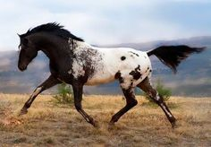 Kondos Eagle Vision  Eagle is a phenomenal appaloosa stallion! He has many championships under his belt (both under saddle and in hand) He has produced multiple up to date show champions and stamps his foals with exception quality!