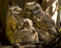 Owl | The Biggest Animals Kingdom