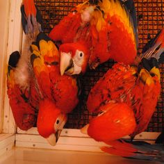 Did you know that in the Xcaret hatcheries more than 90 macaw chicks a year are born?