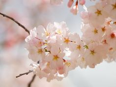 . flower pictures, spring flowers, new homes, spring weddings, pale pink, spring wedding flowers, flower photos, desktop wallpapers, cherry blossoms