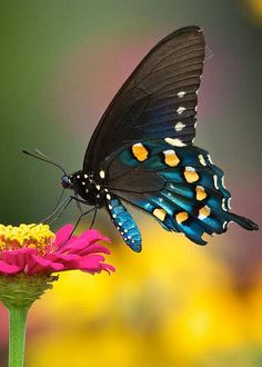 Pipevine Swallowtail by Linda Shannon Morgan