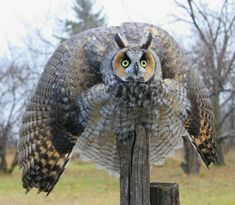 Long-eared Owl threat Display. Image by Ron Boily.