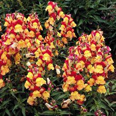 Snapdragon Oriental Lanterns