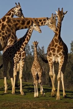 Baby Jioni and His Herd  ~ San Diego Zoo  #giraffe