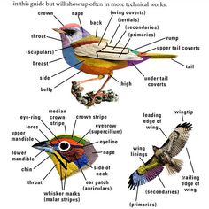 Diagram of Bird Markings