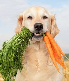 Try a frozen carrot in place of bones to keep a dog's teeth healthy and cool them down in the summer