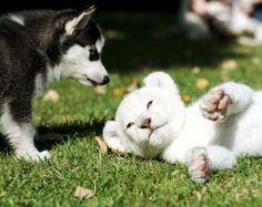 Husky puppy + white lion cub