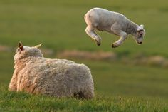 Lamb Leaping by Roeselien Raimond