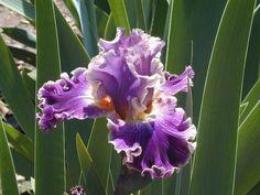 Iris (Iris 'Secret Recipe') uploaded by Betja