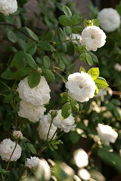 'Madame Hardy' (1832) Damask rose | via nomad123