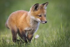 Red Fox Cub by Jacques-Andre Dupont