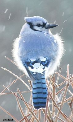 Bluejay fluffs its feathers during cold weather. photo by Dennis Money