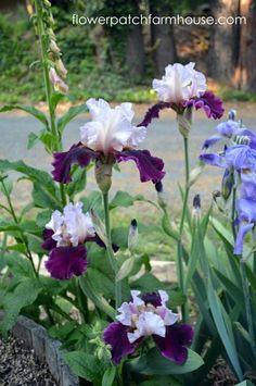 Digging up and Separating Iris.        Good information.