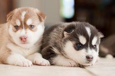 Babies husky siberiano <3