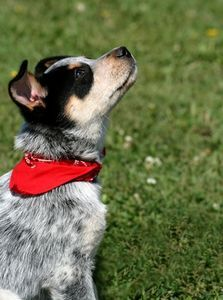 How to Make an Over the Collar Dog Bandana so doing this foor mo!!!