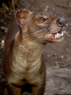 The fossa is a cat-like, carnivorous mammal that is endemic to Madagascar.