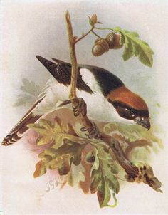 Free Printable Antique Bird Prints - Birds in Autumn - from KnickofTime.net