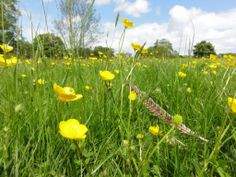 Thanks to Joy Margerum, a warden at Attingham Park, Shropshire for these buttercups.  A little ray of sunshine across the lawns. 16 May 2014