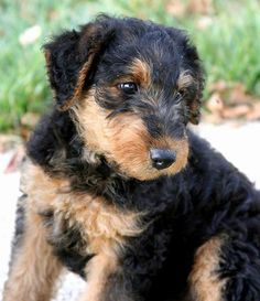 Airedale Terrier Pup. Another medium-sized dog that doesn't shed.    Just come home with me now. Now :)