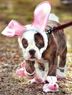 Every bit as sweet and appealing as all the Easter candy in the world :) #bulldog #dog #puppy #cute #animals #Easter #costume #bunny #rabbit