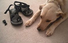 My dog ate my...Chacos?