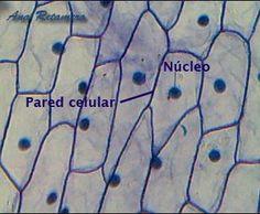 Células de cebollas vistas al microscopio óptico.