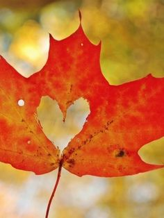 Fall fall leaves, heart, engagement photos, season, autumn leaves, fall time, leaf art, fall photos, falling leaves
