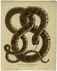 The Clotho, or Deadly Viper