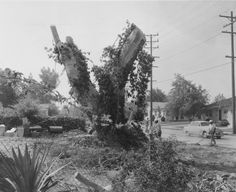 """This is believed to be the last of the four """"compass trees"""" that were planted by the padres who resided in the local missions in the late 1700's. These sycamore trees marked the gateway to the San Fernando Valley and served as a guide for travelers, as well as the padres who traveled from mission to mission. San Fernando Valley History Digital Library."""