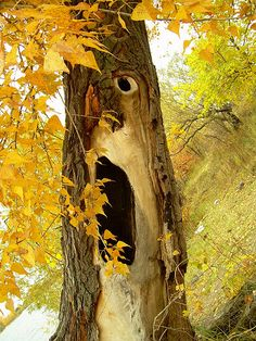 hollow tree looking like a face