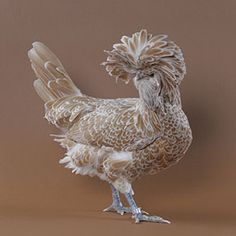 Chicken Breeds - Polish