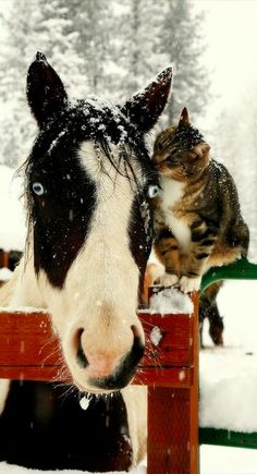 cats, a kiss, animals, friends, winter, barn, horses, snow, crazy eyes
