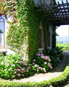 Ivy-covered wall and hydrangeas in Napa