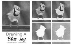 Drawing Lesson – Drawing a Blue Jay