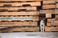Feral kitty under wooden pallets