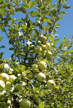How to select and plant an heirloom apple tree.