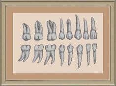 Teeth anatomy crossstitch pattern by nerdylittlestitcher on Etsy, $3.00