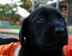 Black Lab Puppy...By:micheycards