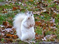 A North Carolina white squirrel ready for his close-up on my birthday!