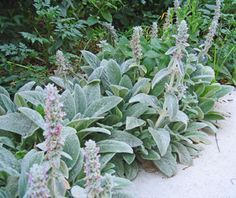 Stachys / Lamb's Ear....A tough silver a mat-forming evergreen. The popular variety 'Helene von Stein'.  Full sun or light shade. Xeric when established. Great edging plant.