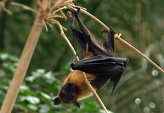 The Indian Flying Fox (Pteropus giganteus) roosts in large colonies of hundreds to thousands of individuals on large trees in rural and urban areas, close to agricultural fields, ponds and by the side of roads  Also known as the greater Indian fruit bat, it lives in mainly forests. It feeds on a wide variety of fruits and flowers, both wild and cultivated. It travels long distances, up to 150 km to and from its roost, a night in search of fleshy berries.