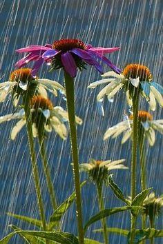 coneflowers getting their rain drinks....