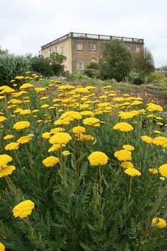 Yellow yarrow. Is an Herb and is beneficial to soil erosion, attracts ladybugs, and butterfly gardens.