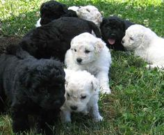 Puli puppies...not as innocent as they look!