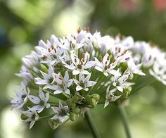 Your homemade guacamole will get a kick with some delicious garlic chives! More salsa garden tips here: http://www.bhg.com/gardening/vegetable/vegetables/grow-a-salsa-garden/?socsrc=bhgpin072914garlicchives&page=7